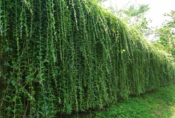 Hình ảnh xanh ngát từ cây cúc tần Ấn Độ